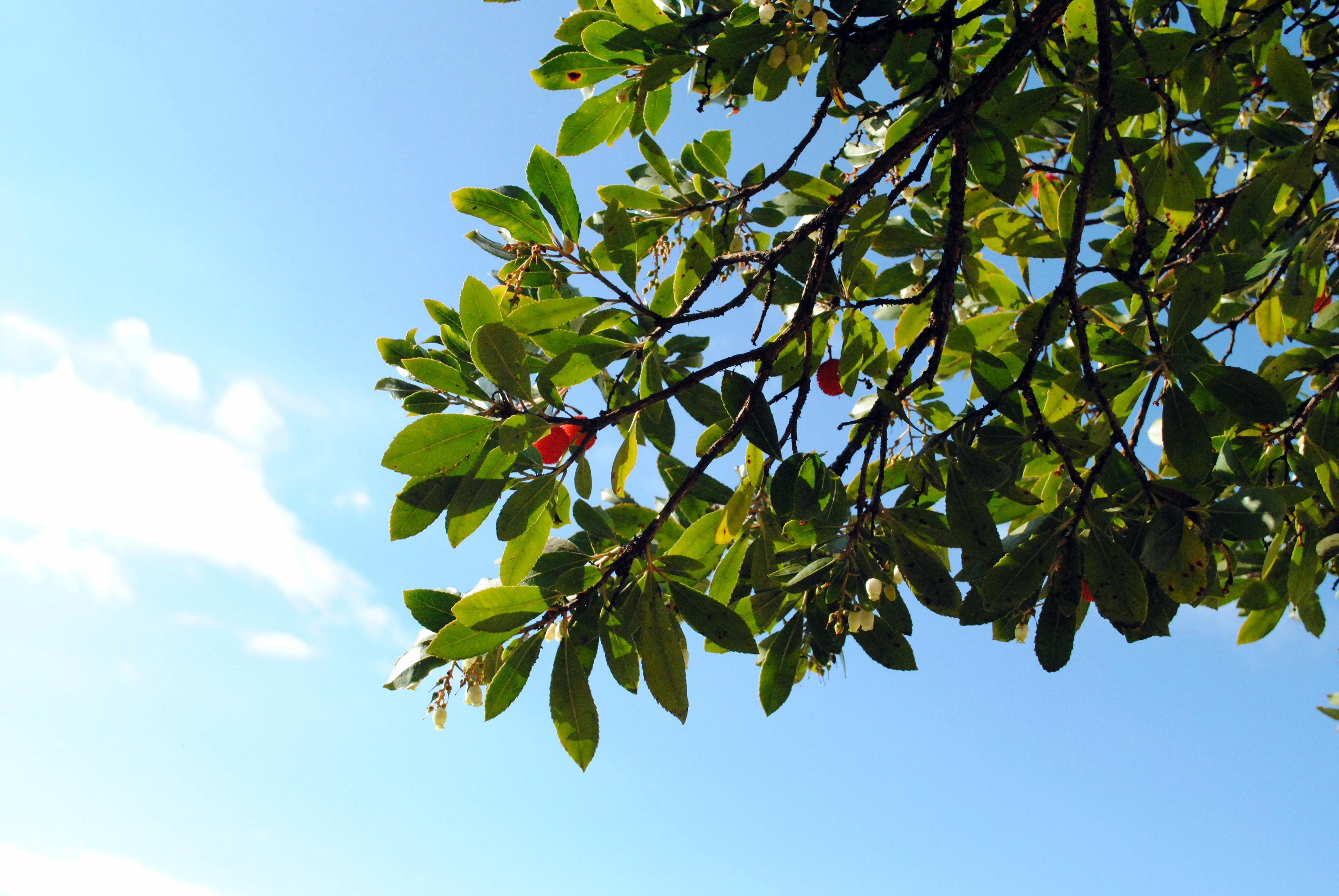 Da jeg mødte jordbærtræet for første gang i Frankrig og i Spanien